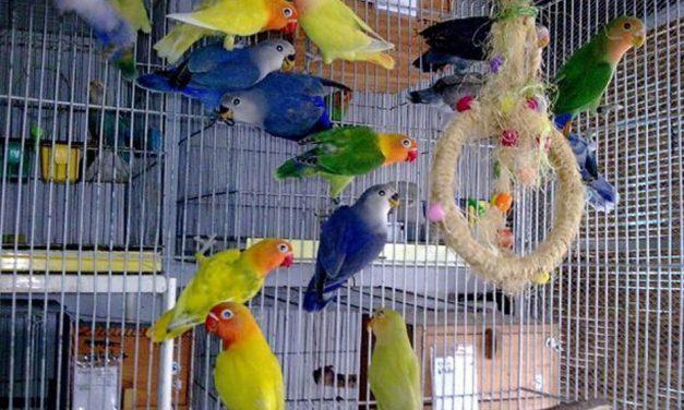 کسب درآمد عالی از پرورش پرندگان زینتی