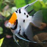 تخمریزی ماهی آنجل در آکواریوم