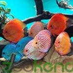 ماهی دیسکس و روش نگهداری از آن