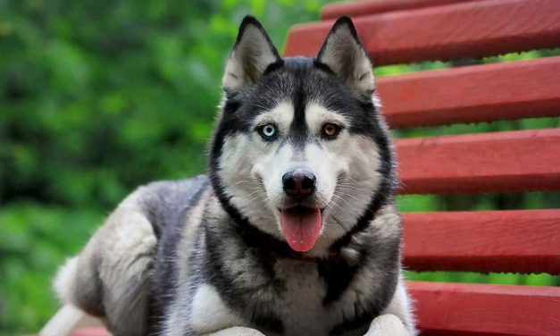 بررسی کامل و حرفهای سگ هاسکی