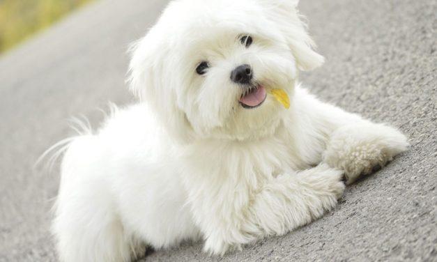 مالتیز سگ زیبا، آرام و مهربان