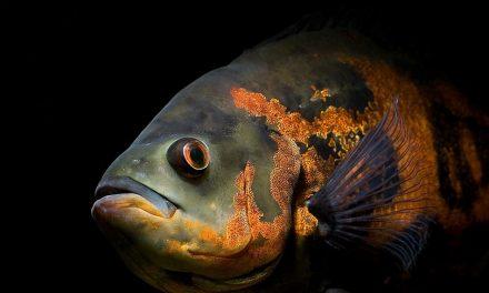 آشنایی با ماهی اسکار