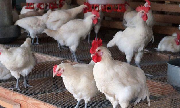 سل مرغی و روش درمان آن چیست