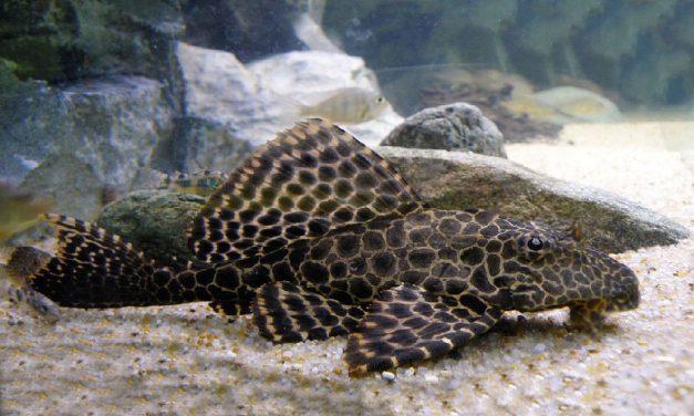 معرفی ماهی لجن خوار